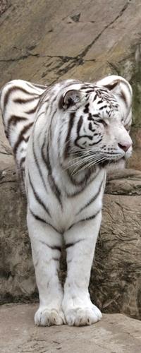 Аватар вконтакте Белый тигр на скале