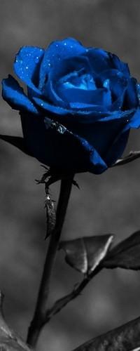 Обои Синяя роза