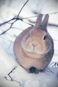 Обои Кролик на снегу