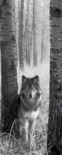 Обои Волк в лесу