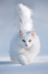 Аватар вконтакте Белый кот на белом снегу