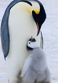 Аватар вконтакте Пингвин с детёнышем