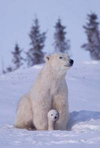 Обои Белая медведица с медвежонком