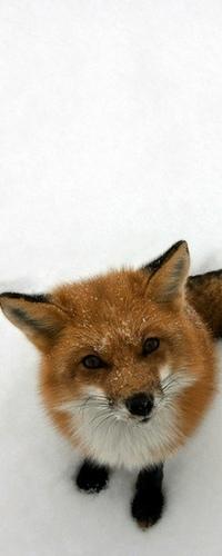Аватар вконтакте Милая лиса