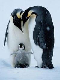 Аватар вконтакте Семья пингвинов