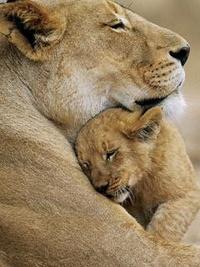 Аватар вконтакте Мама-львица и её сын-львенок