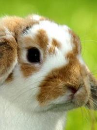 Обои Маленький кролик гуляет на травке