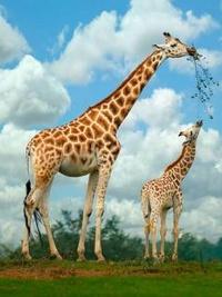 Аватар вконтакте Семья жирафов
