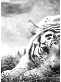 99px.ru аватар Белый тигр возле водоема