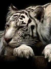 Аватар вконтакте Белый тигр засыпает