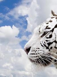 Аватар вконтакте Белый тигр на фоне неба