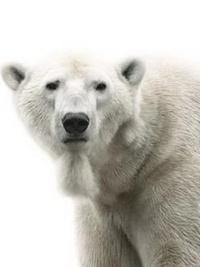 Аватар вконтакте Белый медведь