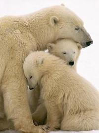 Аватар вконтакте Семья белых медведей