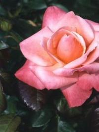 Обои Амазонская роза