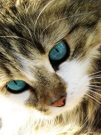 Обои Кошка с голубыми глазами