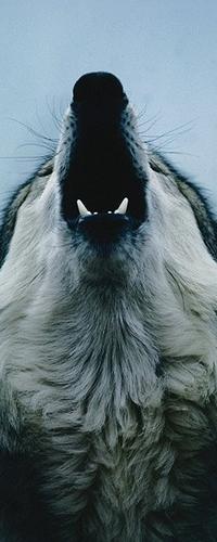 Аватар вконтакте Волк воет