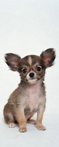 Аватар вконтакте Милый щенок породы той-терьер сидит на белом фоне и будто улыбается