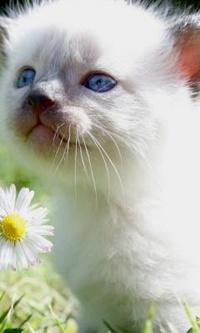 Аватар вконтакте Маленький голубоглазый котенок нюхает ромашку