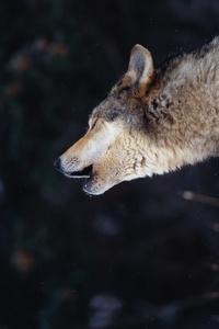 Аватар вконтакте Волк с закрытыми глазами, наклонив голову вниз, воет