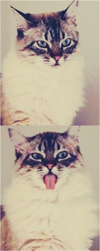 Аватар вконтакте Кот с белой пушистой грудью и полосатой мордочкой показывает язык