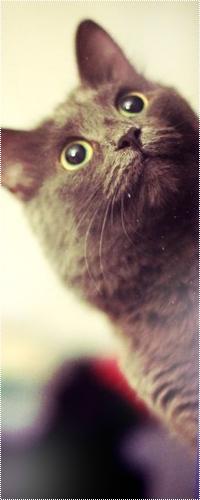 Аватар вконтакте Серый кот смотрит с удивлением вверх