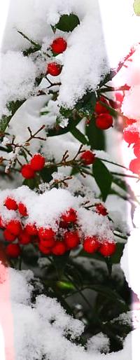 Аватар вконтакте Ветка рябины под снегом