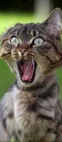Аватар вконтакте Серый котенок с открытым ртом