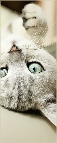 Аватар вконтакте Кошка светло-пепельного окраса, лежа на спине, смотрит на вас