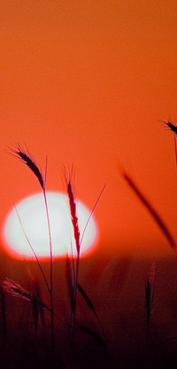 Аватар вконтакте Закат солнца, на переднем плане колосья, фотограф Metin Demiralay