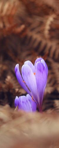 Аватар вконтакте Фиолетовые, весенние крокусы, растущие из-под пожухлых листьев на размытом фоне