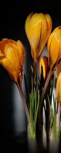 Аватар вконтакте Желтые, весенние крокусы в капельках утренней росы