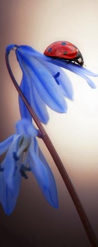 Аватар вконтакте Божья коровка, ползущая по синим весенним цветам