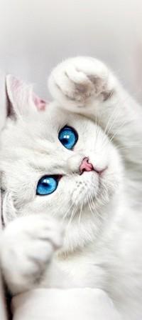 Аватар вконтакте Белый кот с голубыми глазами