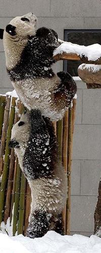 99px.ru аватар Медвежонок панда / Ailuropoda melanoleuca подсаживает собрата к кормушке