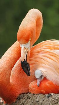 Аватар вконтакте Розовый фламинго / Phoenicopterus roseus спрятал птенчика под крыло