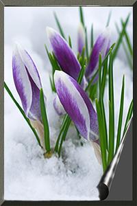 Аватар вконтакте Первые весенние цветы крокусы пробились сквозь снег