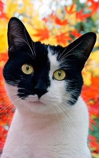 Аватар вконтакте Черно- белый кот в осенний день