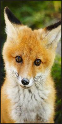Аватар вконтакте Рыжая лисичка на размытом фоне