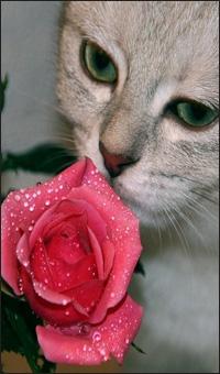 Аватар вконтакте Кошка с зелеными глазами нюхает бутон розовой розы