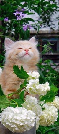 Аватар вконтакте Бело-рыжий котенок закрыв глаза сидит в белых цветах