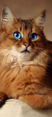 Аватар вконтакте Пушистая кошка с голубыми глазами