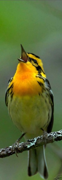 Аватар вконтакте Желтая птичка сидит на ветке