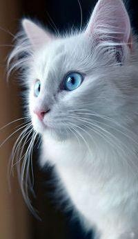 Аватар вконтакте Голубоглазый белый котенок