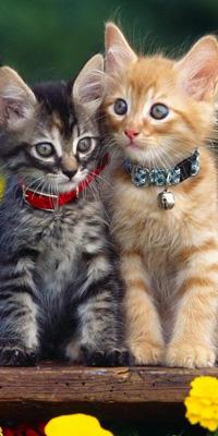 Аватар вконтакте Два маленьких котенка с ошейниками на шее, сидят на столе