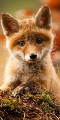 Аватар вконтакте Маленький рыжий лисенок