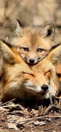 Аватар вконтакте Лисенок положил свою мордочку на голову лисы - мамы