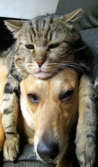 Аватар вконтакте Кот положил свою морду и лапы на морду собаки