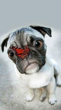 Аватар вконтакте Мопс с бабочкой на носу