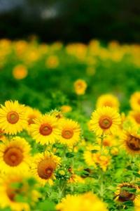 Аватар вконтакте Множество красивых желтых ромашек