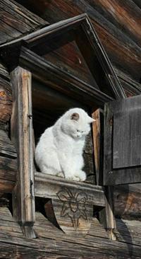 Аватар вконтакте Белая кошечка сидит, зажмурив глаза, в верхнем окне деревянного дома